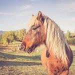 Prince the minature horse